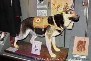Санитарная собака Музей Вооруженных Сил в Москве